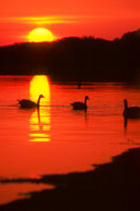 Geese at sunrise / Snow Goose Pool, Assateague Island, VA